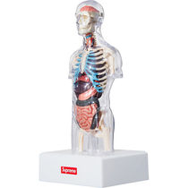 Supreme Male Anatomy Model